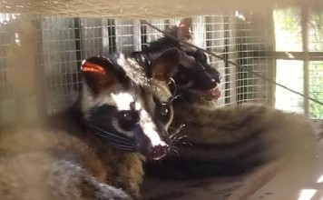 Những cá thể cầy vòi mốc và cầy vòi hương bị săn bắt trái phép